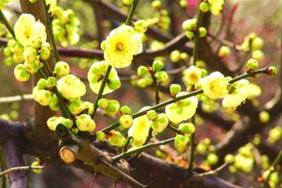 又是一年赏梅时,2013上海淀山湖梅花节如约而至。东方绿舟、大观园梅园近期赏梅活动不断,让游客在春寒料峭的初春尽赏梅花的雅趣。